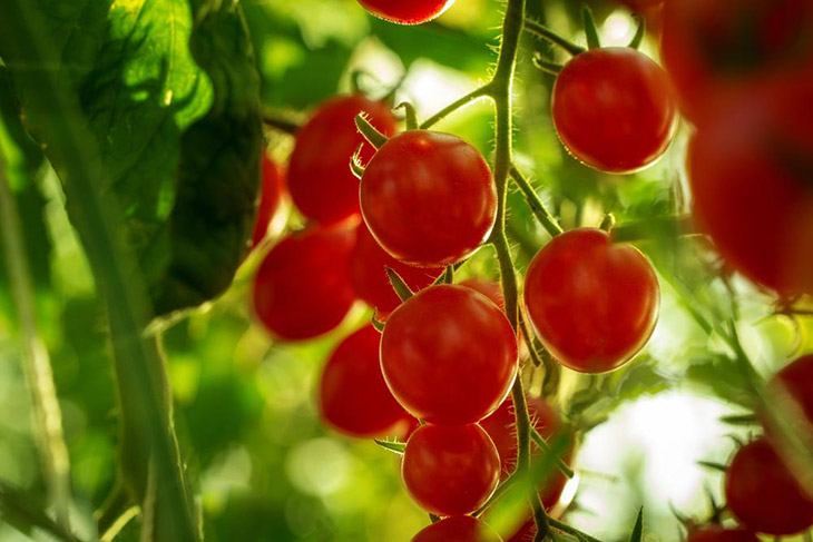 a branch of tomato