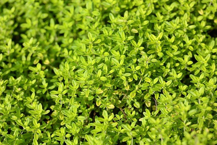 Thyme is a good choice for rosemary substitute