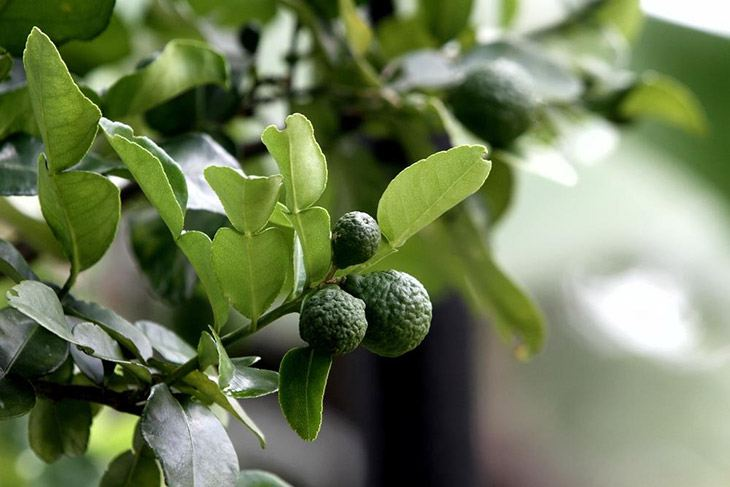 a branch of kaffir lime on the tree