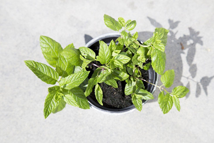 mint leaves can be alternative herb for coriander