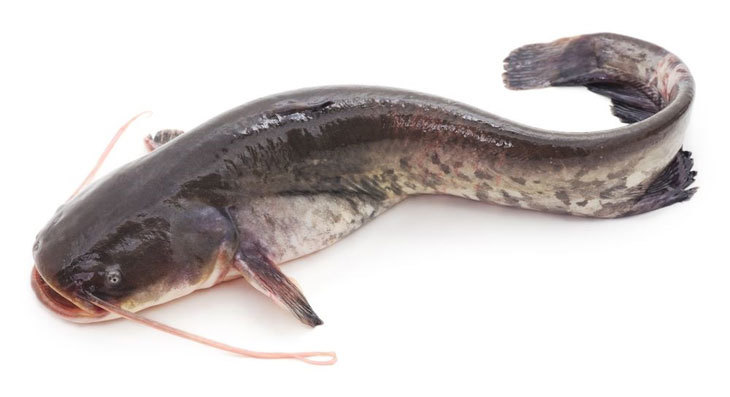there are many kinds of catfish