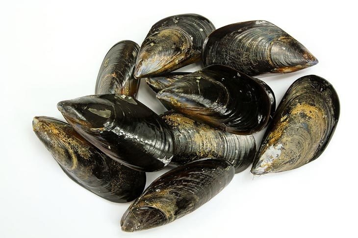 What Are Mussels