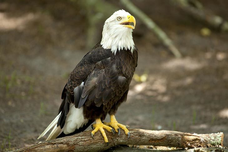 Brief Information About Eagle Meat