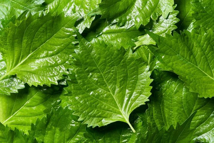 shiso substitute