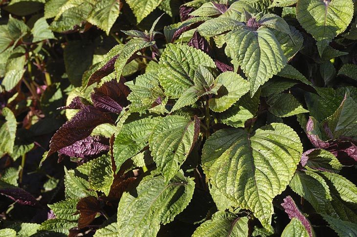 substitute for shiso
